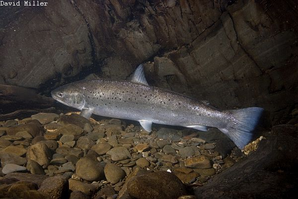Brown trout or sea trout?