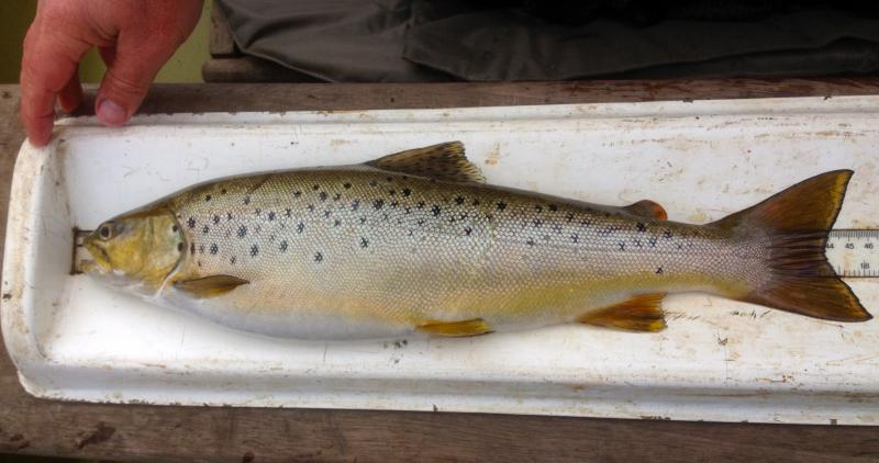 Diet interactions of brown trout and perch at Malham Tarn