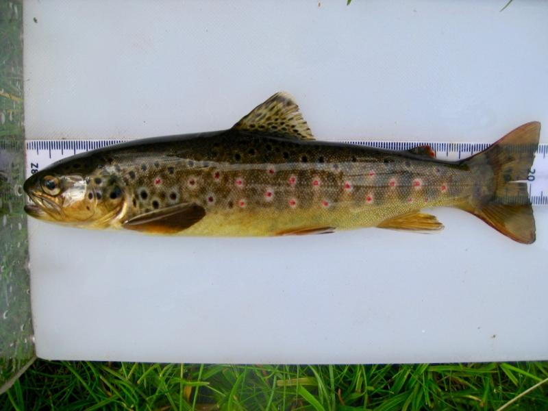 Where in the sea are sea trout?