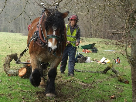 Pickering beck shire horse