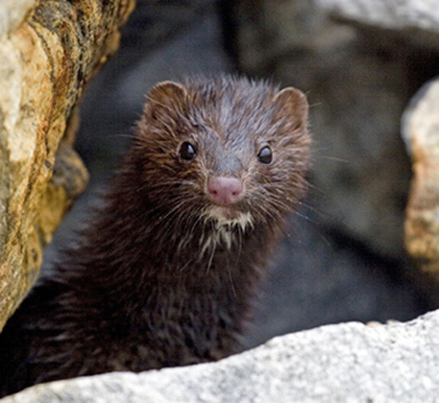 Eradicating mink consultation