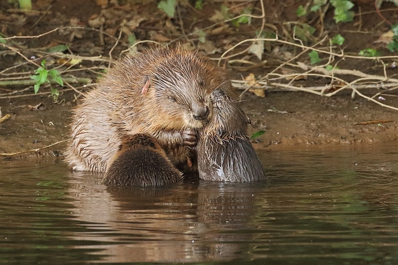 Beavers - a fishing guide's view