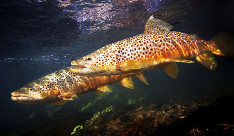 Freshwater fish in 'catastrophic decline'