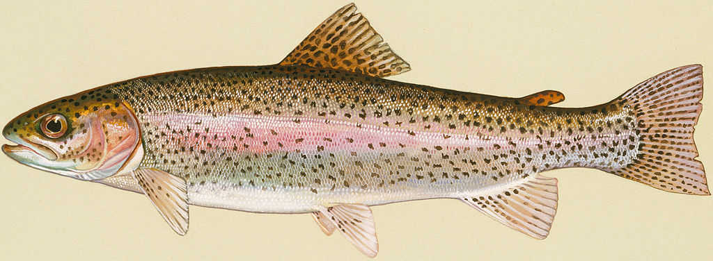 New web page about rainbow trout