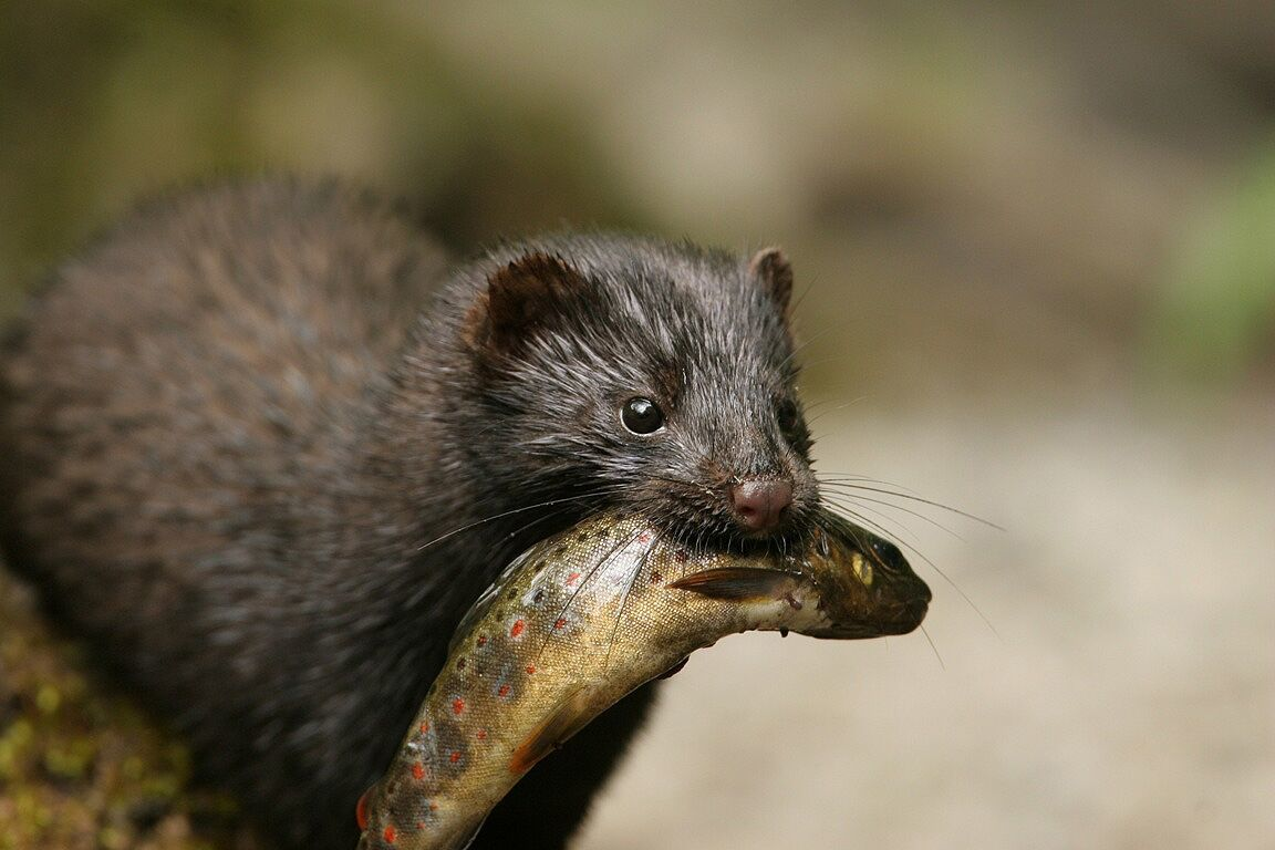 Volunteers needed to control mink in the upper Test and Itchen