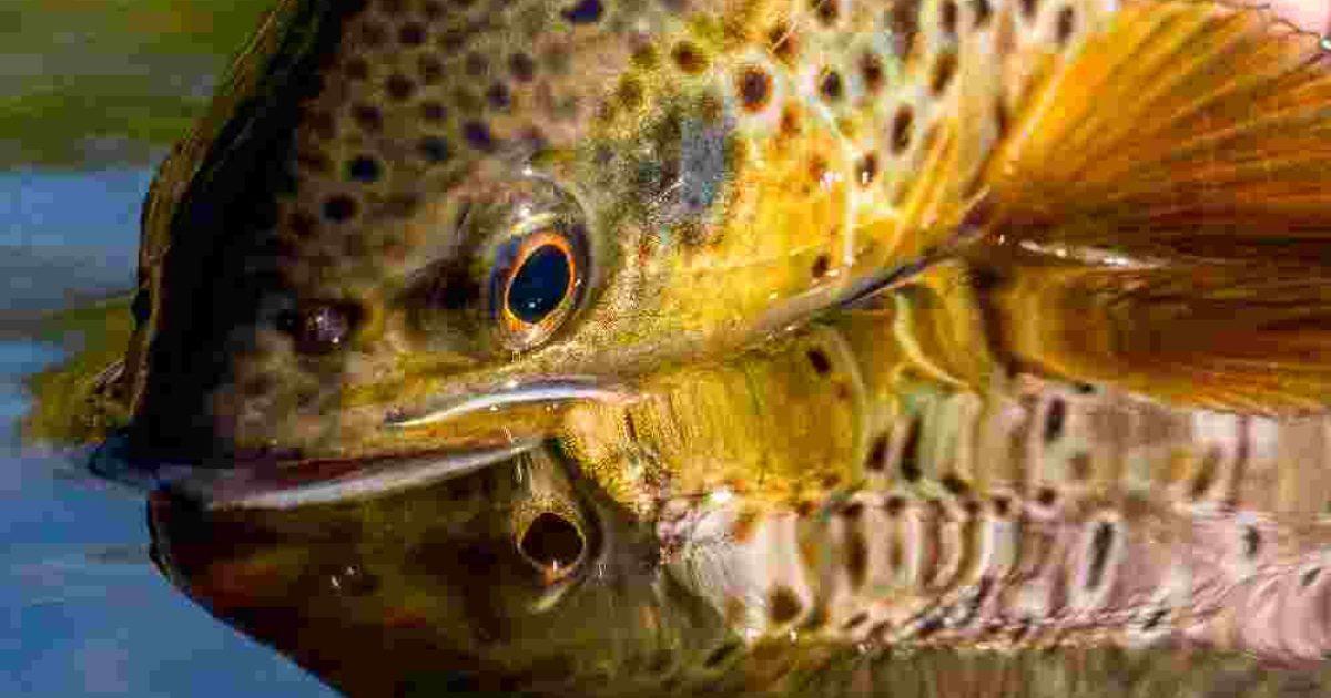 Trout Facts | Wild Trout Trust