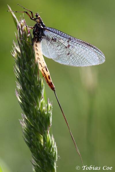 Backlit Mayfly