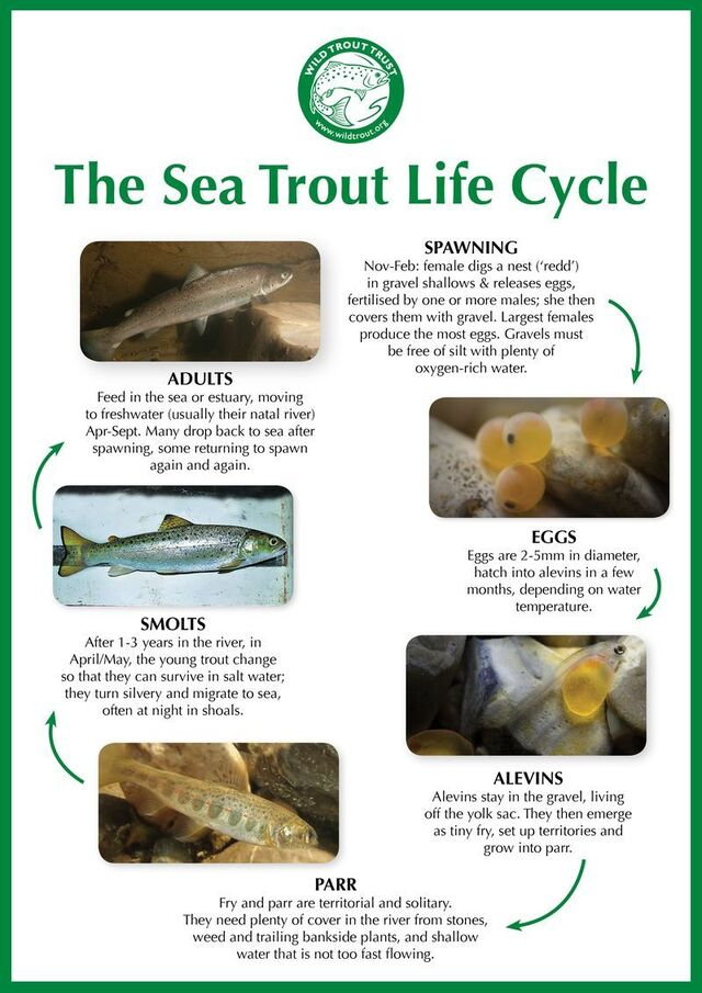 Sea Trout Lifecycle Jpegs