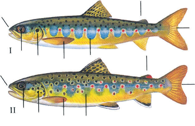 Salmon Versus Sea Trout Parr