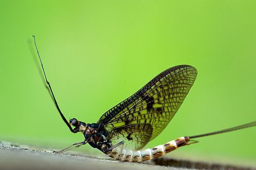 Jacobs Mayfly
