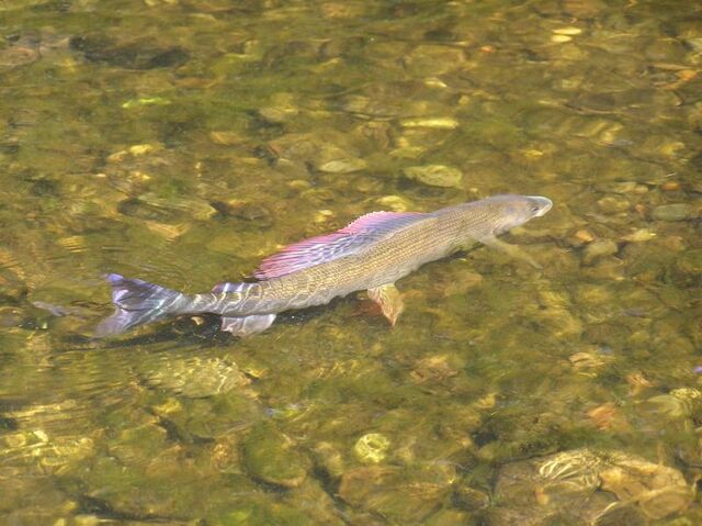 Grayling In River (3)