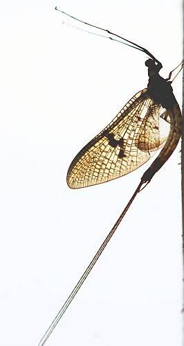 Charles Carr Mayfly Sillouette