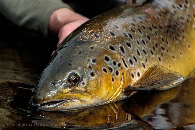Cumbrian trout 1