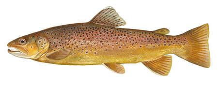 Illustration Brown trout
