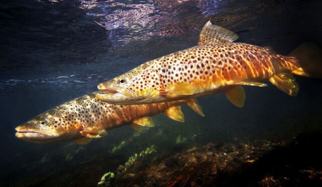 Brown Trout Crop